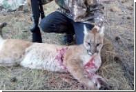 14-летний американец отомстил пуме за убитую козу