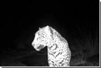 Редкий белый ягуар попал в объектив автоматической камеры