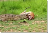 Спасение антилопы от крокодила сняли на видео