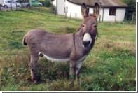 В Гемании осел принял дорогой автомобиль за морковь и погрыз его