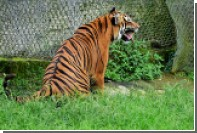 Американские полицейские пристрелили напавшего на собаку тигра