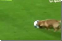 Аргентинский пес прервал футбольный матч и покусал микрофон