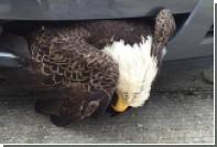 Национальная птица США застряла в решетке радиатора из-за урагана «Мэттью»