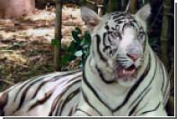 Белые тигрята растерзали сотрудника индийского парка