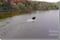 Схватка лося и волка попала на видео