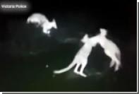 Драку кенгуру сняли на камеру ночного видения с полицейского вертолета