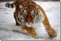 В США усыпили амурского тигра Мартина из России