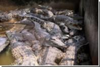 В Китае с фермы сбежали 78 молодых сиамских крокодилов