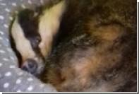 Дерзкий барсук занял кошачье место в шотландском доме