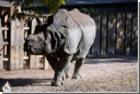 Носорог догнал и покалечил охотившегося на него браконьера