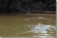 Схватку ягуара и каймана сняли на видео