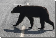 На шоссе в Колорадо при наезде на медведя погибли три человека