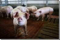 Москва объяснила санкции против живых свиней