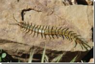 Гигантская сколопендра сожрала беременную змею