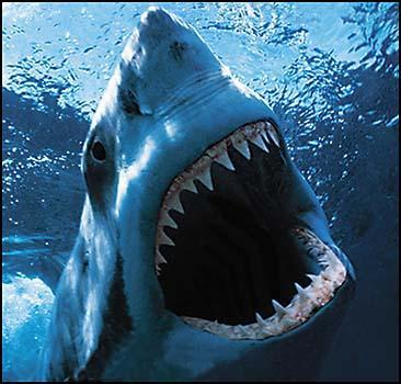 Когда акула открывает пасть, у нее действительно нос задирается.