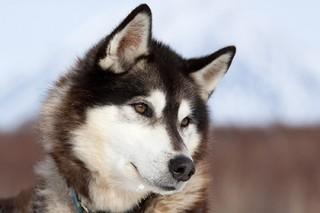За полярным кругом нашли древнейших породистых собак
