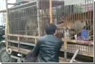 Нападение циркового тигра на пенсионера сняли на видео