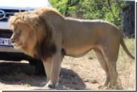 Лев напал на туристов в ЮАР ради внимания самки