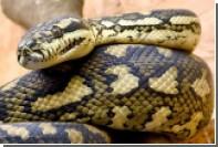 Полицейские заинтересовались выпуклостью в штанах юноши и нашли там змею