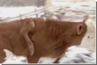 В Китае родился пятиногий бык