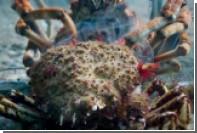 Смертоносную армию крабов-пауков показали на видео