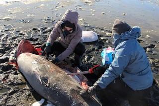 В США акулы замерзли насмерть