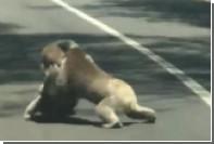 Коалы подрались на шоссе и попали на видео
