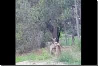Дерущиеся кенгуру разбежались после угрозы пожаловаться их родителям