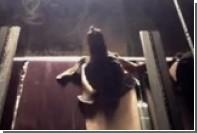 Целеустремленного черепашонка на беговой дорожке сняли на видео