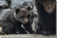 Российских медведей сочли угрозой на чемпионате мира-2018