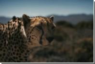 Гоночная машина посоревновалась в скорости с гепардом