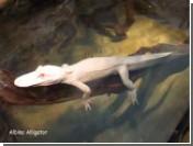 Из бразильского зоопарка похищены семь редких аллигаторов-альбиносов