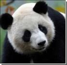 Панда покусала посетителя зоопарка
