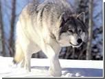 Охотиться на 27 волков выйдут 10 тысяч шведов
