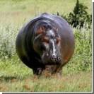 Из частного зоопарка сбежал бегемот