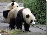 Больших панд уличили в инцесте