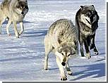 Дубоссарские охотники начнут облавы на волков и лис