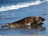 На мурманский судоремонтный завод приплыл тюлень