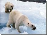 Белая медведица проплыла 690 километров в поисках льда
