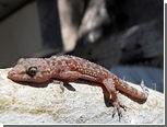 Британка нашла геккона в пакете с брокколи