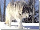 Норвежский школьник распугал волков хэви-металлом