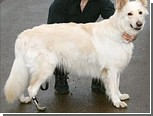 Псу-инвалиду поставили титановую лапу