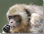 В Японии из зоопарка сбежала агрессивная обезьяна
