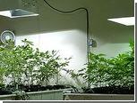 Шотландского героя поймали на выращивании марихуаны