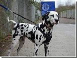 Потерявшийся далматин доехал на автобусе до собачьего приюта