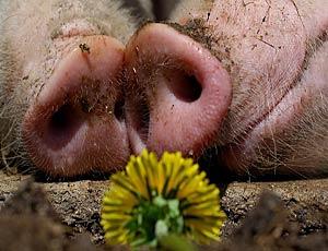 Больше трех голов не собираться: краснодарская гордума запретила частное свиноводство