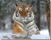 В Благовещенске амурский тигр тяжело ранил 3-летнего ребенка