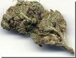 Двух приморцев посадили за заготовку 350 килограммов марихуаны