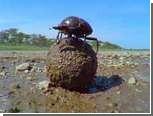 Ученые объяснили танец навозных жуков