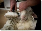 Стрижка овец может стать олимпийским видом спорта